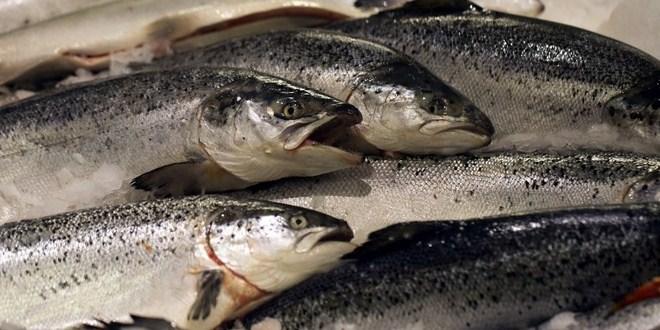 Foto ikan salmon